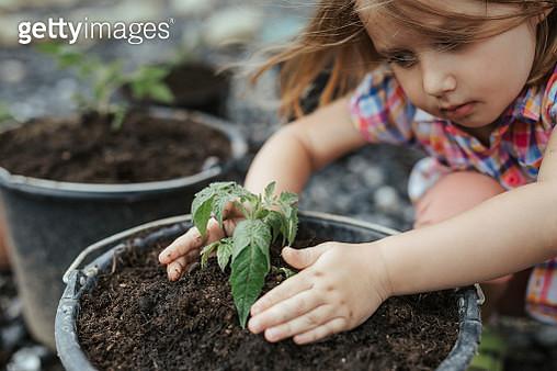 Little girl planting tomato plant - gettyimageskorea