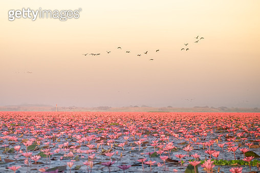 Landscape of famous red lotus sea in Thailand - gettyimageskorea