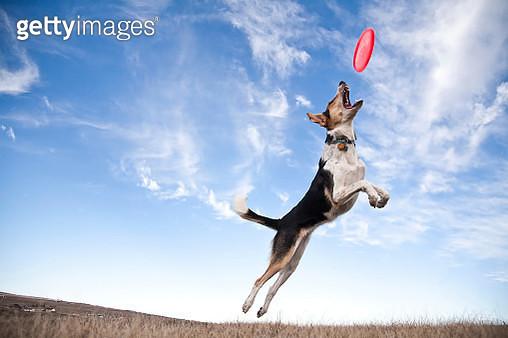 Frisbee dog - gettyimageskorea