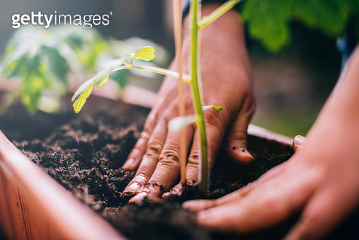 Woman planting a tomato plant. - gettyimageskorea
