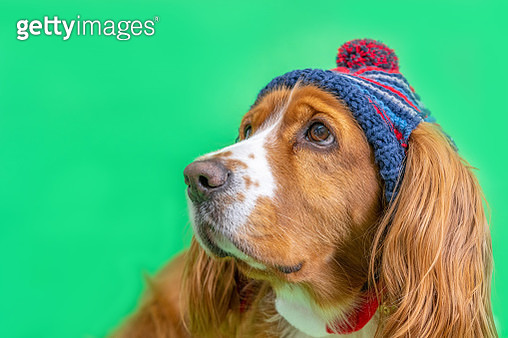 Adorable cocker spaniel dog pet in green background - gettyimageskorea