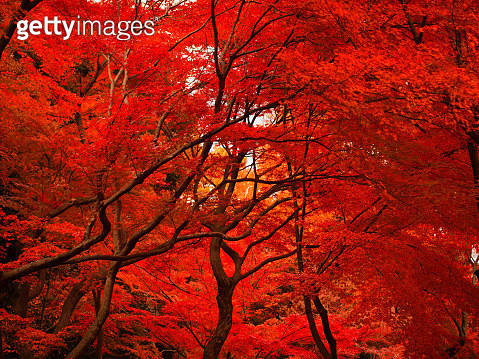 The maple leaves have turned red and the whole garden is ablaze with autumnal colors. - gettyimageskorea