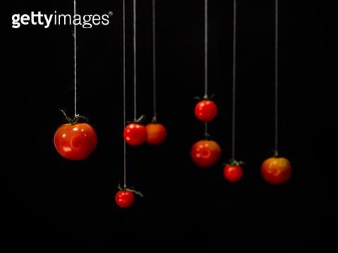 hanging tomatoes - gettyimageskorea