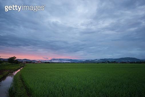 Rice Field - gettyimageskorea