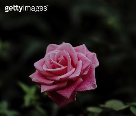 Close-Up Of Pink Rose - gettyimageskorea