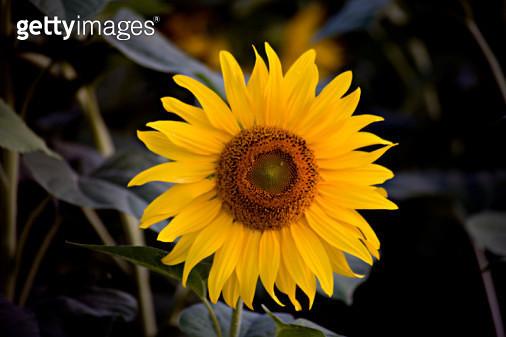 sunflower in field - gettyimageskorea
