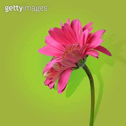 Pink Gerber daisy on green background with shadow. - gettyimageskorea