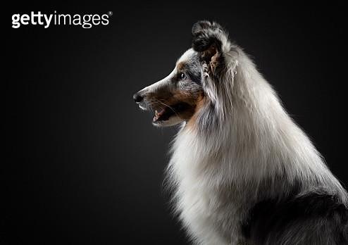 Side view of Shetland Sheepdog against black background - gettyimageskorea