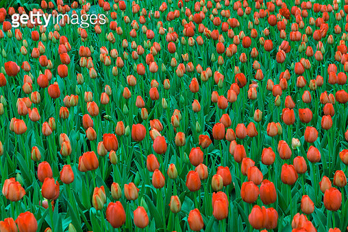 Full Frame Shot Of Red Tulips Blooming In Park - gettyimageskorea