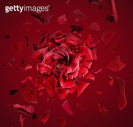 Exploding red rose, fragments flying around - gettyimageskorea