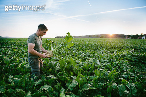 harvesting: farmer stands in his field, looks at sugar beets - gettyimageskorea