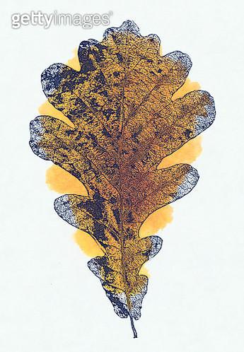Blue Oak leave composition, herbarium, autumn bouquet with yellow watercolor spot - gettyimageskorea