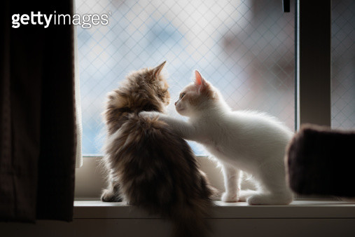 White and cream colored Scottish Fold kitten places paw on shoulder of golden chinchilla persian kitten, while on windowsill. - gettyimageskorea