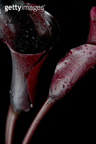 Still-life of dark, organic, red calla lilies - gettyimageskorea