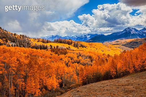 Colorful Autumn Aspen's - gettyimageskorea