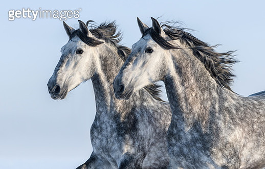 Two grey Spanish horses - portrait in motion - gettyimageskorea