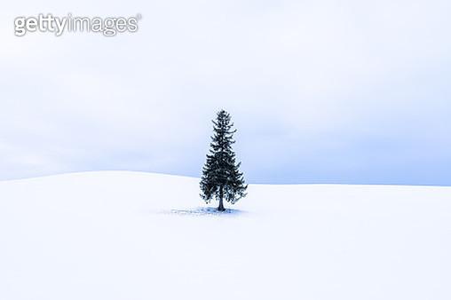 Lone Christmas tree in Bibaushi, Biei, Kamikawa District, Hokkaido, Japan - gettyimageskorea
