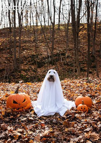 Dog wearing a ghost costume sitting between pumpkins for Halloween. - gettyimageskorea