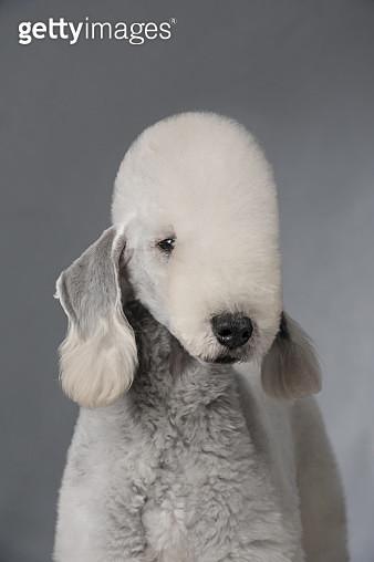 Bedlington Terrier - gettyimageskorea