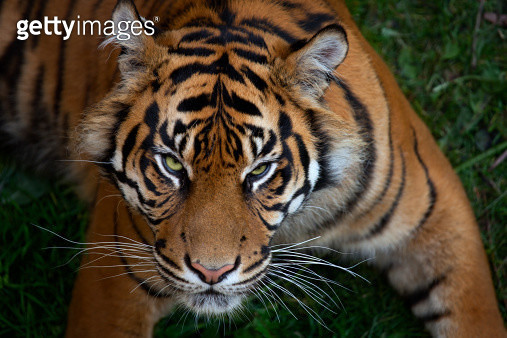 Tiger - gettyimageskorea