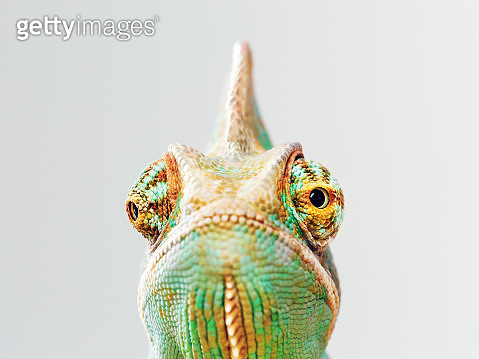 Green chameleon portrait - gettyimageskorea