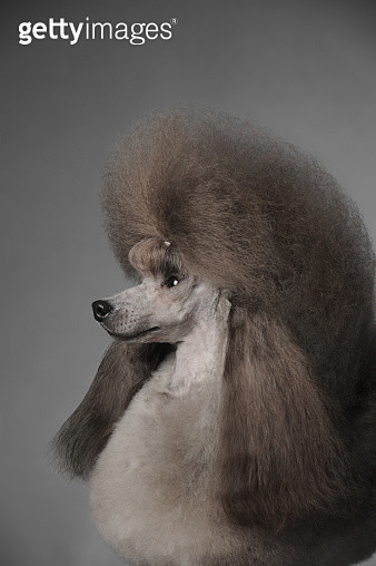 Toy Poodle - gettyimageskorea