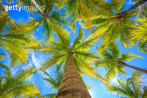 Direcly below view of coronut palm trees, Mexico - gettyimageskorea