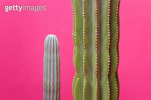 Cactus against pink wall - gettyimageskorea