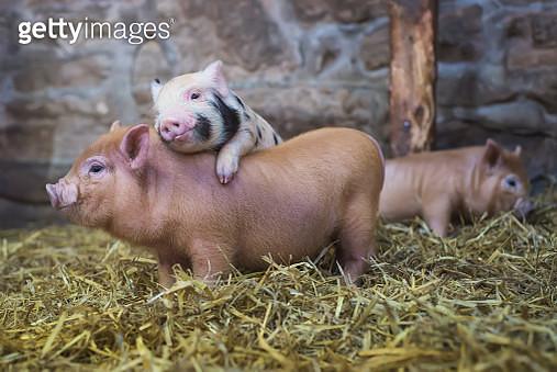 Piglet love - gettyimageskorea
