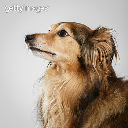 Close-Up Of Brown Dog Looking Away Over White Background - gettyimageskorea