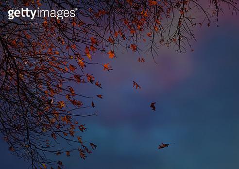 Red Oak Leaves in Autumn - gettyimageskorea