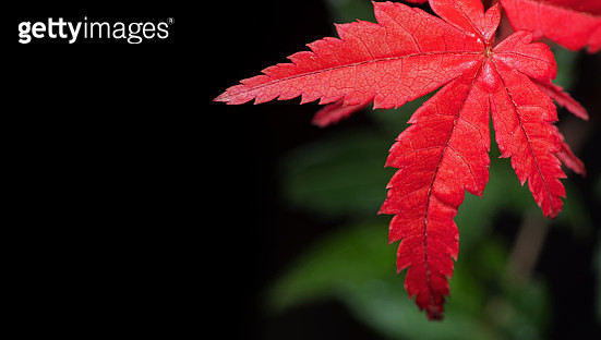 Close-Up Of Red Maple Leaves - gettyimageskorea