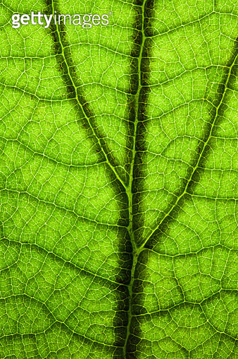 Back Lit Green Leaf at High Resolution Showing Extreme Detail - gettyimageskorea