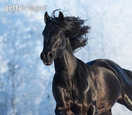Black purebred stallion - gettyimageskorea