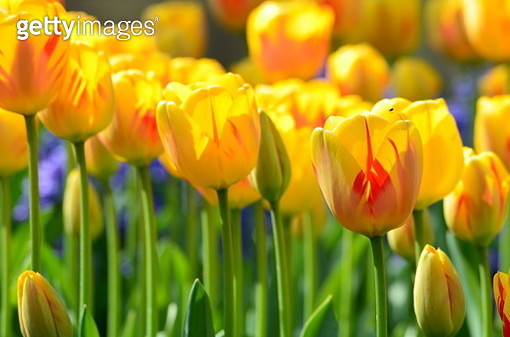 Close-Up Of Yellow Tulips In Field - gettyimageskorea