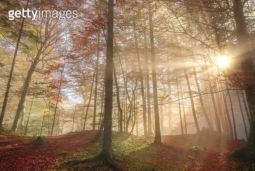 Sun Rays Through A Misty Autumn Forest - gettyimageskorea