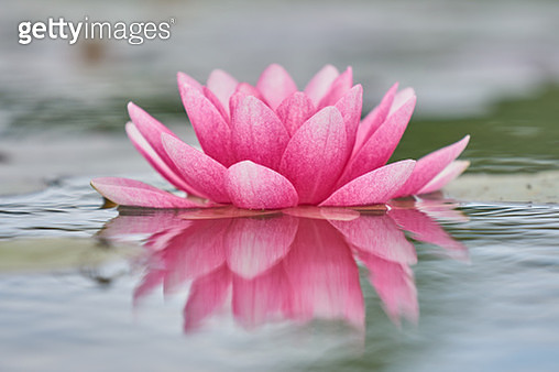 Close-Up Of Lotus Water Lily In Lake - gettyimageskorea