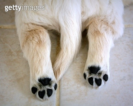Looking down on back end of tiny Golden Retriever puppy, with cute fluffy tail and black paw pads. - gettyimageskorea