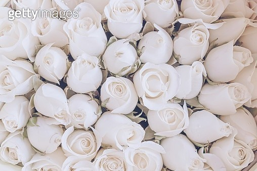 Full Frame of White Roses Blooming Outdoor - gettyimageskorea