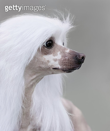 Chinese Crested Dog Breed. - gettyimageskorea