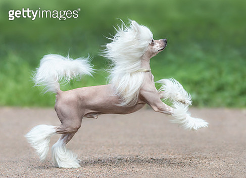 Chinese Crested Dog Breed. Male dog. - gettyimageskorea