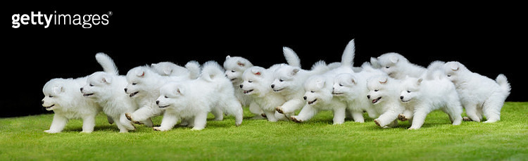 Group of puppies of Samoyed dog running on green grass. - gettyimageskorea