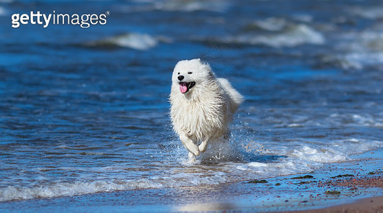 Samoyed dog running on sea beach. Concept about animals and natu - gettyimageskorea