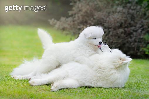 Samoyed dog with puppy - gettyimageskorea