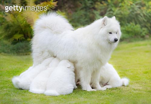 Samoyed dog puppies suckling mother. - gettyimageskorea