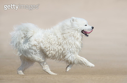 White fluffy dog of breed Samoyed dog running on beach. Monochro - gettyimageskorea