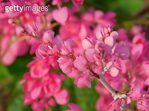Close-Up Of Pink Cherry Blossoms - gettyimageskorea