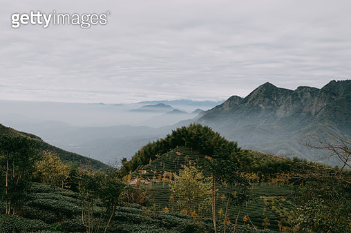 Taiwanese tea plantation and mountains with fog, Nantou County - gettyimageskorea