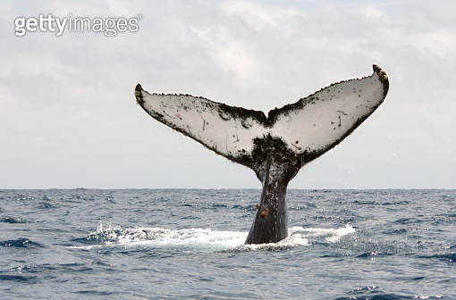 Humpback whale tail - gettyimageskorea
