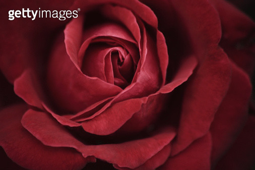 Close up of a red rose - gettyimageskorea